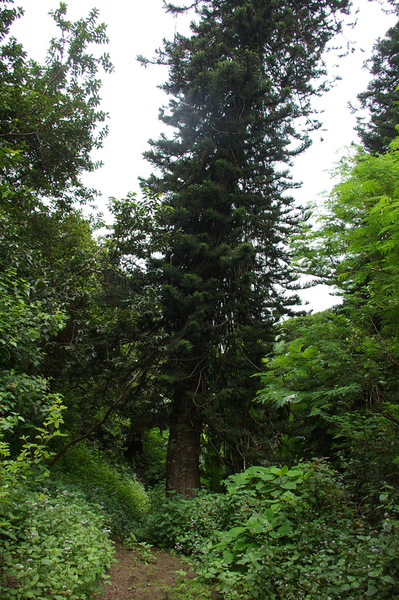 Norfolk Island pine near the summit of Green Mountain