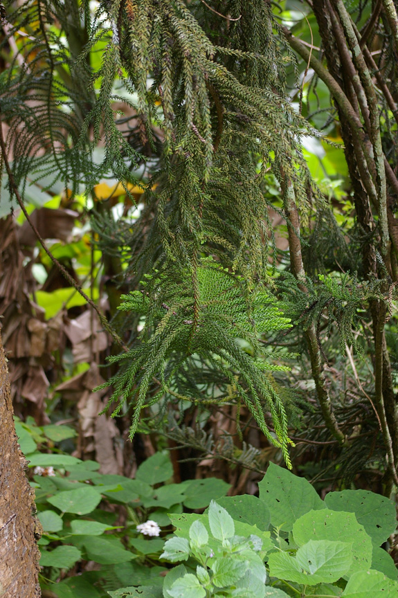 A Norfolk Island pine branch droops among bananas and other plants