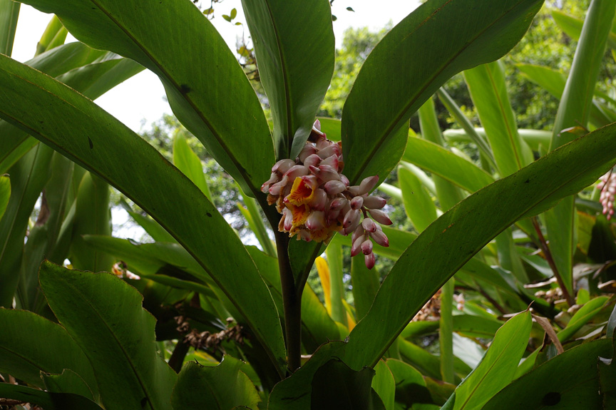 Wild ginger on Green Mountain