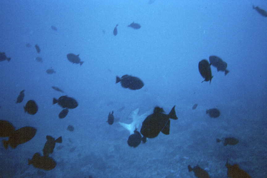 An ocean triggerfish amid a swarm of black durgon