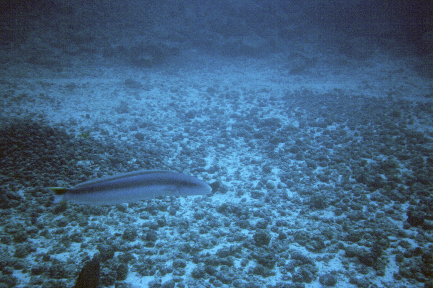 A sand tilefish forms a ghostly presence just out of reach