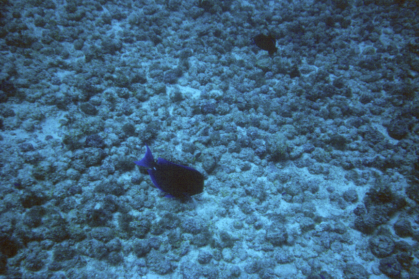 A blue surgeonfish feeds among the rocks