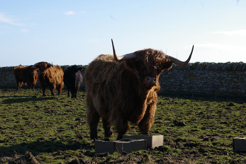 A highland bull welcomes me to Noss Head