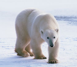 A polar bear stalks the Arctic ice.